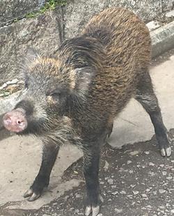 Hong Kong Second World War Two Wild Boar piglet